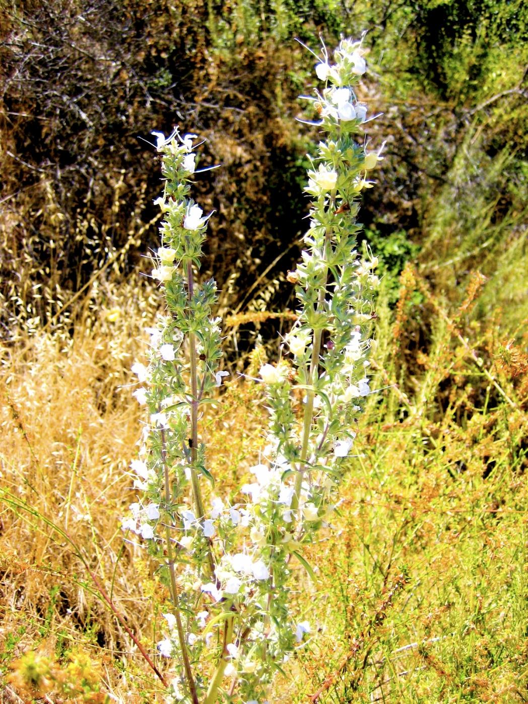 Wild White Sage